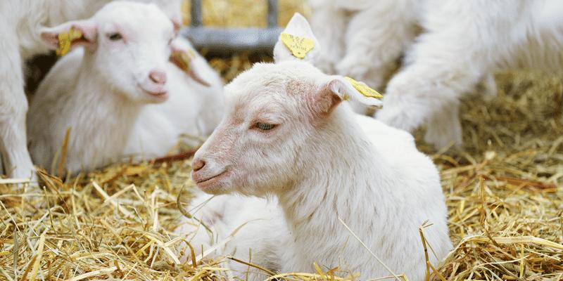 geiten in stal